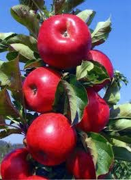 Scarlet Sentinel Limbless Apple Tree - Grows double the fruit of a regular apple tree in half the time! (2 years old and 3-4 feet tall)
