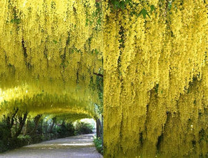 Golden Chain Tree - Weeping yellow blossoms measure over one foot long! (2 years old and 3-4 feet tall.)