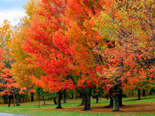 Sugar Maple Tree - Fast-growing native with bright fall color! (2 years old and 3-4 feet tall.)