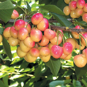 Royal Ann Cherry Tree - Up to 50 pounds of sweet blonde cherries in a season! (2 years old and 3-4 feet tall)