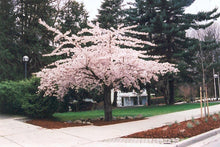Shirofugen Cherry Blossom Tree - Bright pink, fragrant, and double-blossoming cherry tree! (2 years old and 3-4 feet tall.)