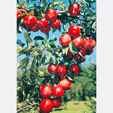 Red Delicious Apple Tree - Fruit delicious as it is beautiful! (2 years old and 3-4 feet tall.)