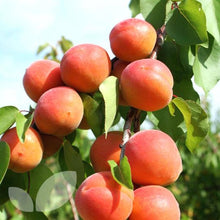 Goldcot Apricot Tree - Cold hardy apricot! (2 years old and 3-4 feet tall.)