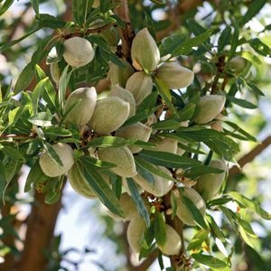 All-in-One Almond Tree - Cold hardy, great flavor, easy growing. (2 years old and 3-4 feet tall.)