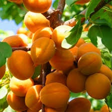 Dwarf Moorpark Apricot Tree - Largest and sweetest apricots! (2 years old and 3-4 feet tall)