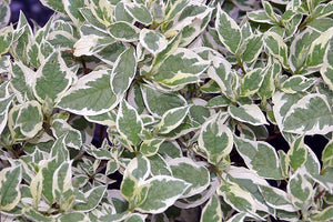 Ivory Halo Dogwood Shrub (1 Gallon) - A lovely ornamental twist on the classic red dogwood!