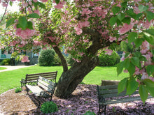 Kwanzan Cherry Blossom Tree - Beautiful, large, bright pink globes of blossoms! (2 years old and 3-4 feet tall.)