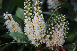 Cherry Laurel 'Otto Luyken' Shrub (1 Gal) - Hardy, fragrant, beautful shrub perfect for hedge plantings!
