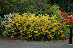 """Lemon Lights"" Azalea Shrub - Shades of dazzling yellow change across the massive blossoms! *Cold Hardy* (1 Gallon)"