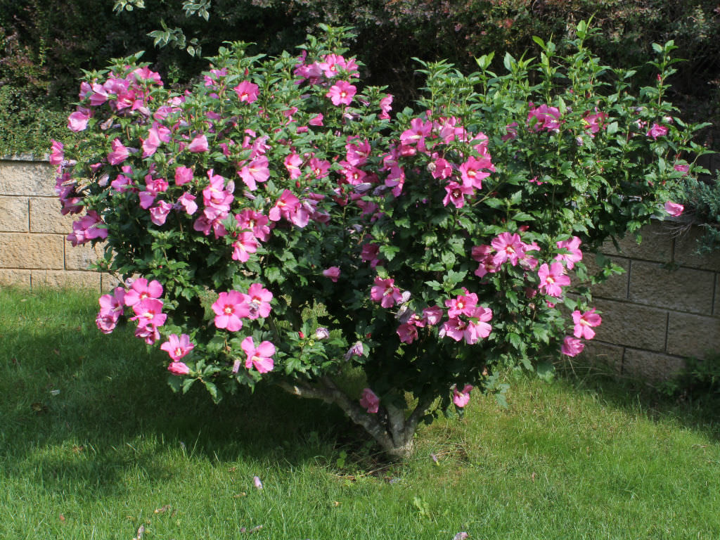 Lucy Rose Of Sharon Hibiscus1 Gallon Unique Ruffled Pink