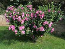 """Lucy"" Rose of Sharon Hibiscus(1 Gallon) - Unique ruffled pink flowers, among the toughest most low-maintenance flowering shrubs!"