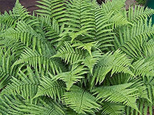 Male Fern (1 Gallon) - Excellent low-growing and shade loving perennial.