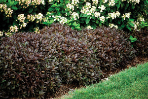 Midnight Wine Weigela (1 Gallon) - Unique dark-burgundy foliage with profusely blooming rose-pink flowers!