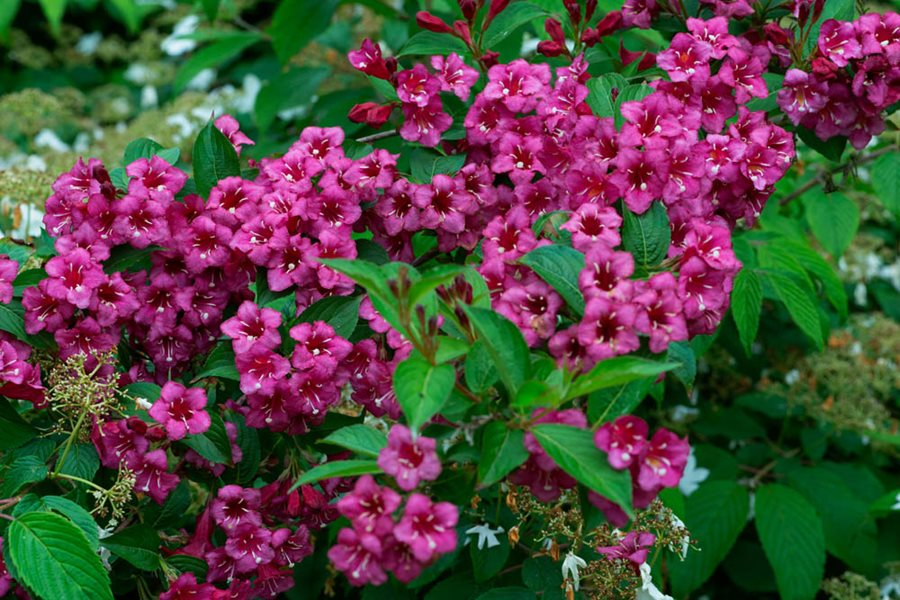 Minuet Weigela 1 Gallon Innumerable Fragrant Fuchsia