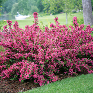 Minuet Weigela (1 Gallon) - Innumerable fragrant fuchsia-colored blossoms coat this dwarf shrub in early spring!