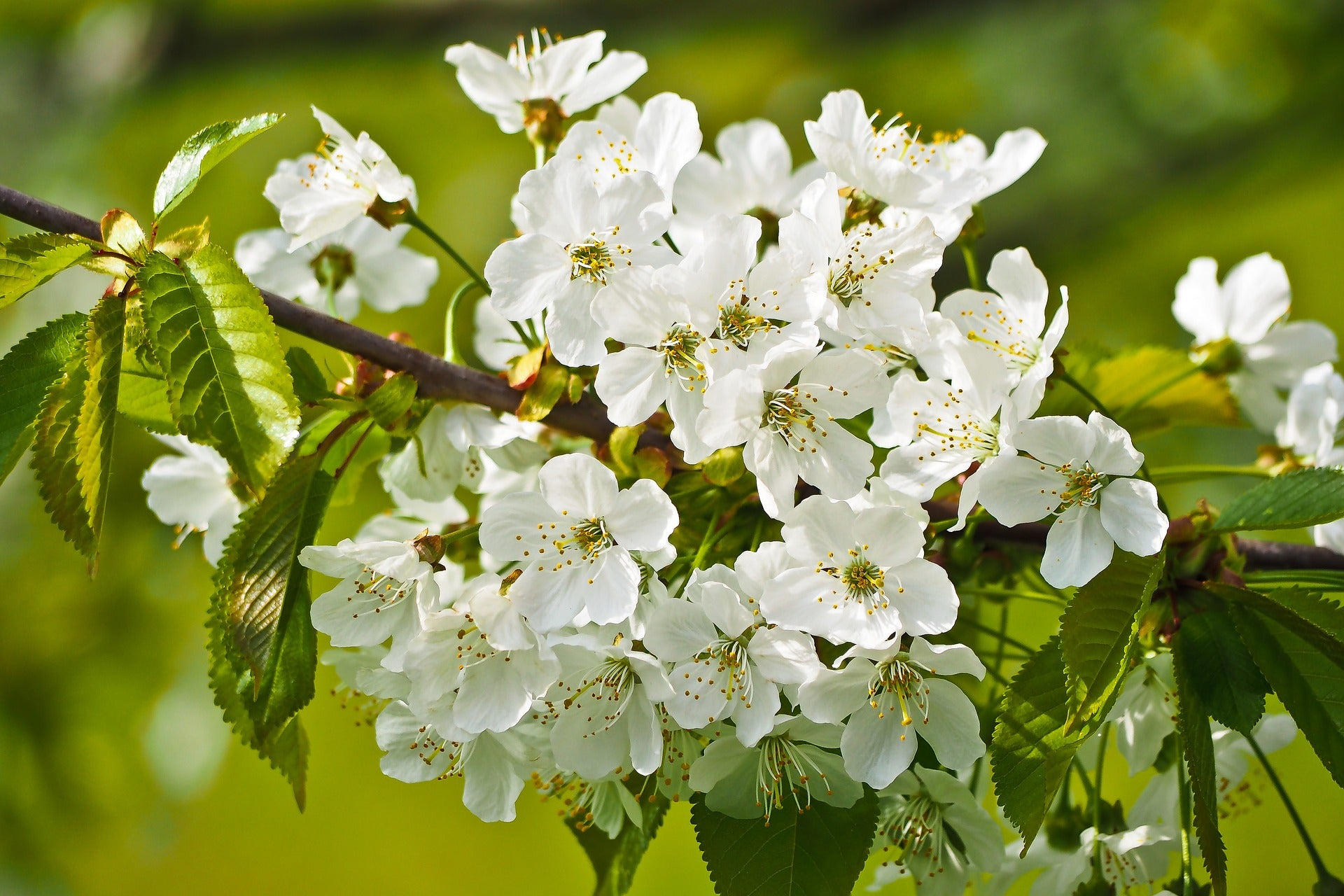 Mt Fuji Flowering Cherry Tree Large And Graceful Pure White