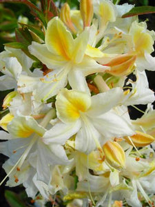 """Northern Hi-Lights"" Azalea Shrub- Creamy-white blossoms splashed with yellow color! Cold hardy, deer-resistant, highly resilient. (1 Gallon Pot)"