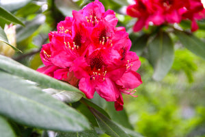 Nova Zembla Rhododendron Shrub (1 Gal) - Vibrant scarlet blossoms contrast beautifully against glossy evergreen foliage.