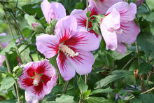 """Orchid Satin"" Rose of Sharon Hibiscus (1 Gallon) - Huge, fragrant, lavender-pink flowers with a scarlet splash inside! Deer-resistant, drought-tolerant, hardy to -15°."