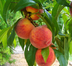Frost Peach Tree - Most cold hardy peach tree! (2 years old and 3-4 feet tall.)