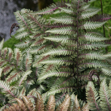 Metallicum Japanese Painted Fern (1 Gallon) - Shiny silver edges give way to a dark green in the center of these fronds! Bi-Colored, Cold Hardy, Deer and Pest-Resistant