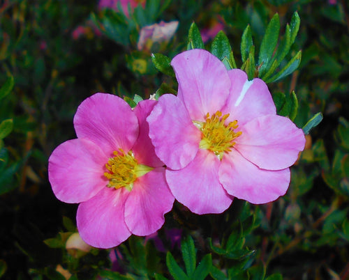 Pink Beauty Potentilla Shrub (1 Gal)- Numerous coral-pink flowers add a simply beautiful depth to landscapes.