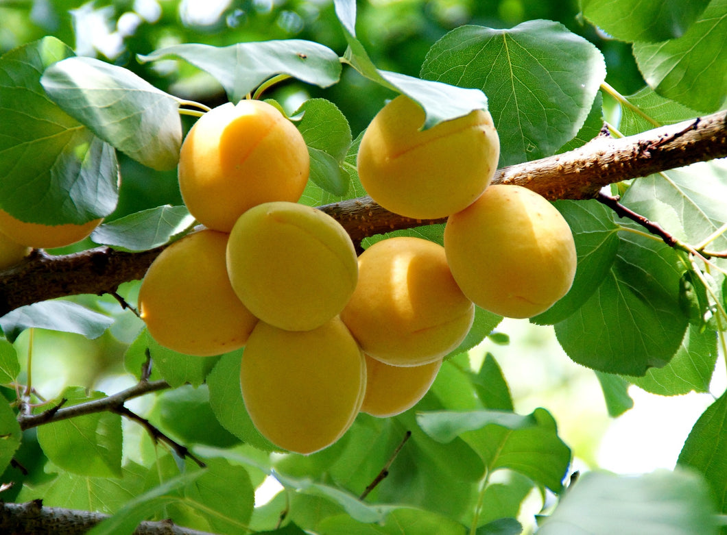 Dwarf Puget Gold Apricot Tree - Easiest growing apricot tree! (2 years old and 3-4 feet tall)