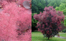 Royal Purple Smokebush (1 Gallon) - Bright colorful plumes rising out of foliage provide a rare and dramatic smokey effect!