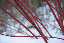 Red Twig Dogwood Shrub (1 Gallon) - This adaptable native boasts gorgeous firey-red winter stems and huge white spring flowers.