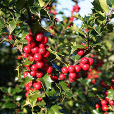 Red Beauty Holly (1 Gallon) - Symmetrical grower with rich glossy leaves and abundant bright red berries!