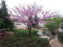 Eastern Redbud Tree - A breathtaking flowering native to North America! (2 years old and 3-4 feet tall.)