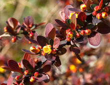 Rose Glow Barberry Shrub (1 Gal)- Deep purple foliage naturally mottled with rose-pink splashes!
