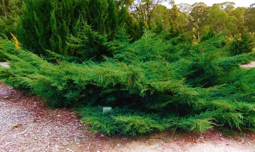Sea Green Juniper Shrub (1 Gal) - Fountain shaped foliage that changes to a darker green in winter!