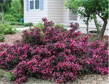 """Shining Sensation"" Weigela (1 Gallon) - Prolific, shiny purple foliage contrasts perfectly with its bright pink flowers."