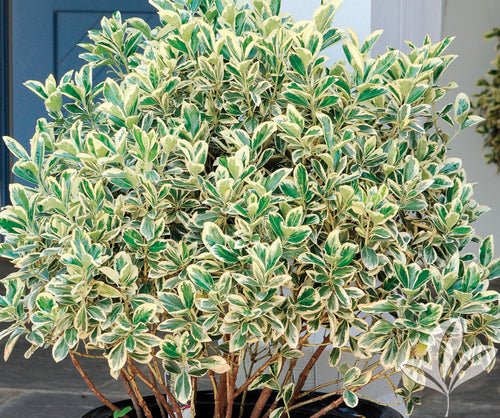 Silver King Euonymus (1 Gallon) - Glossy evergreen leaves with silvery white edges, drought, heat and cold tolerant!
