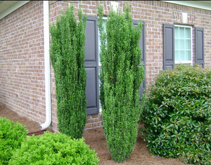 Sky Pencil Japanese Holly (1 Gallon) - Upright, columnar evergreen that's especially elegant in containers and as a hedge.