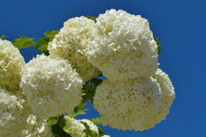 Snowball Viburnum Shrub (1 Gal) - Pure white florets bloom in perfect snowball-shaped globes. Deer resistant!