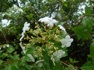 Summer Snowflake Viburnum Shrub (1 Gal) - Showy halos of pure white blossoms throughout summer!