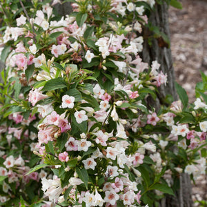 """Sonic Boom"" Pearl Reblooming Weigela (1 Gallon) - Pearly white blossoms change to translucent pink from May until late summer!"