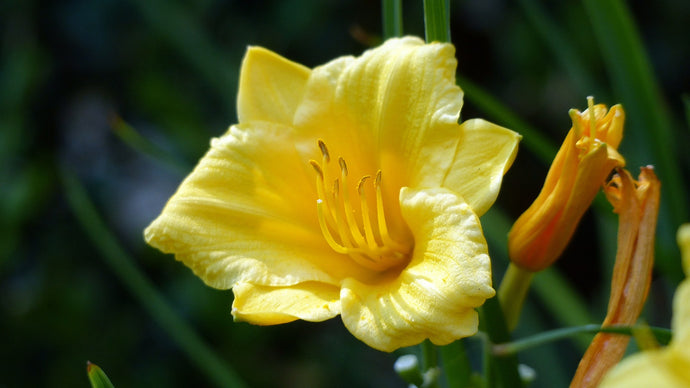 Stella D'Oro Daylily (1 Gal)- Large reblooming bright yellow blossoms thrive in all climates!