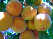 Suncrest Peach Tree - Golden-skinned fruit is some of the sweetest! (2 years old and 3-4 feet tall.)