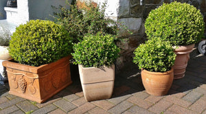 Winter Gem Boxwood (1 Gallon) - Beautiful, hardy, especially colorful in winter!
