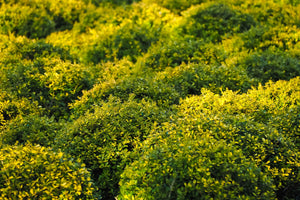 Golden-Tip Boxwood (1 Gallon) -  Golden-splashed foliage further brightens a colorful evergreen classic!