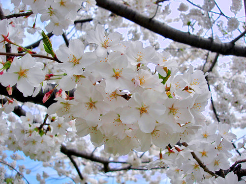 Yoshino Flowering Cherry - Almond scented, pinkish white, fragrant blossoms. (2 years old and 3-4 feet tall.)