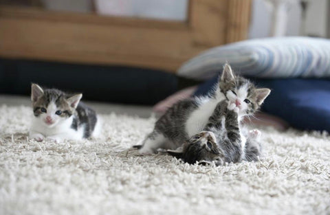 lovely kittens playing on a soft carpet