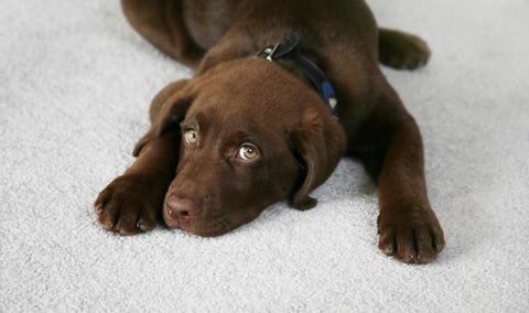 brown labrador puppy on a carpet