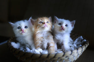 ModnLife Store Blog - Let your pets improve your health - cute kittens in basket