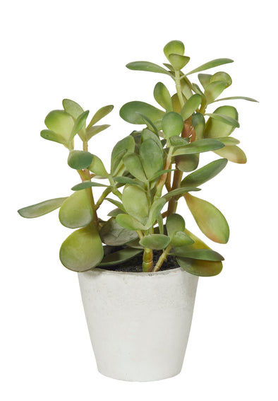 Jade Plant in Pot- 2 sizes