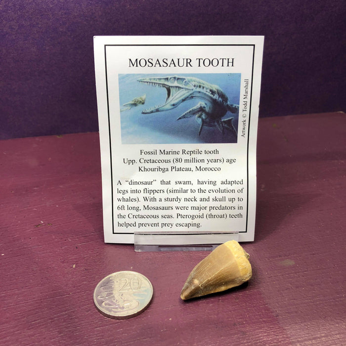 Mosasaur Tooth Fossil