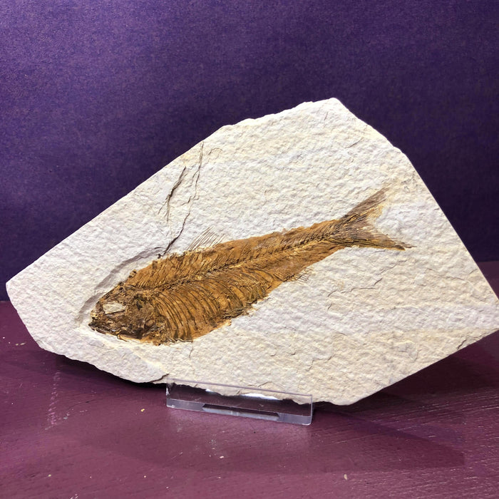 Knightia Large Fossil Fish